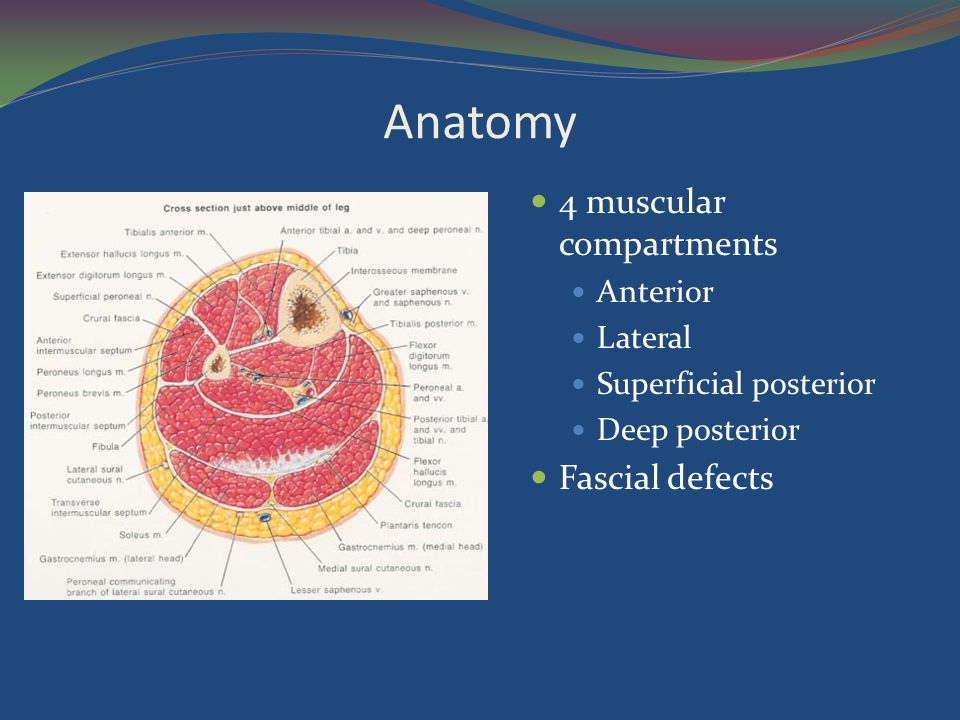 Anatomy 4 muscular compartments Fascial defects Anterior Lateral