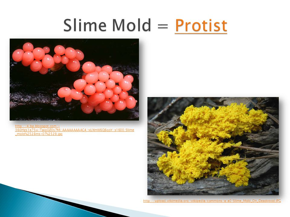 Slime Mold = Protist http://4.bp.blogspot.com/-360Hzs1e75w/TaiqOZ0s7MI/AAAAAAAAAC4/xUXmW6Q6qoY/s1600/Slime_mold%2528ms-07%2529.jpg.