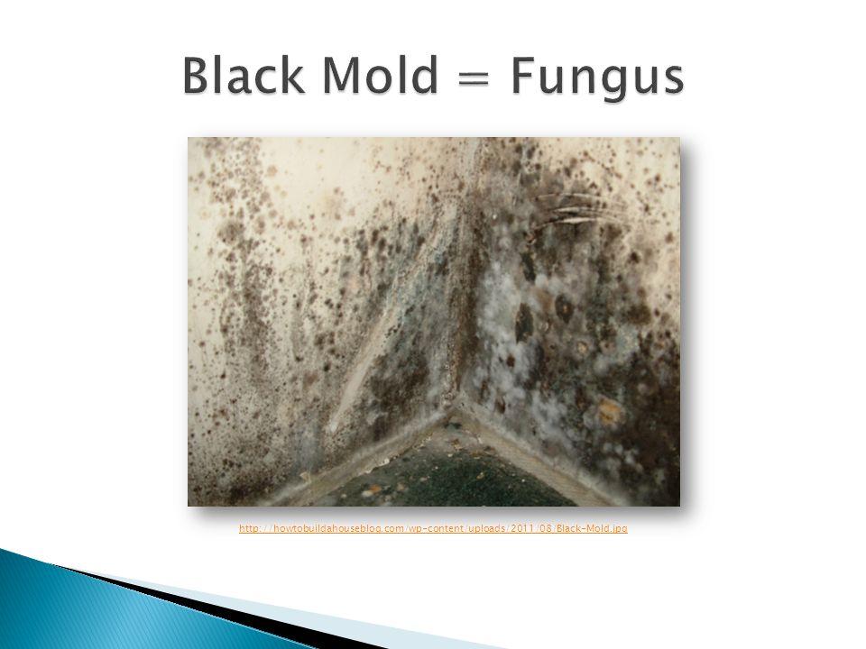 Black Mold = Fungus http://howtobuildahouseblog.com/wp-content/uploads/2011/08/Black-Mold.jpg