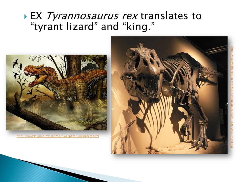 EX Tyrannosaurus rex translates to tyrant lizard and king.