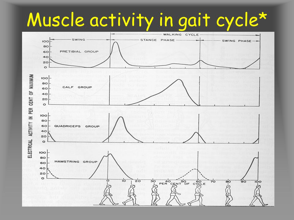 Muscle activity in gait cycle*