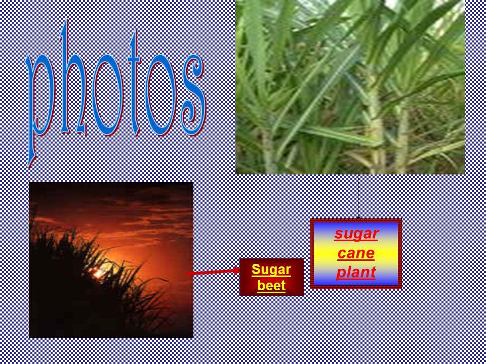 photos sugar cane plant Sugar beet