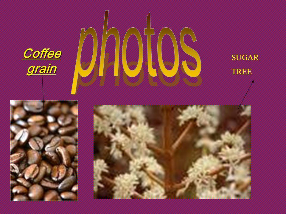 photos Coffee grain SUGAR TREE