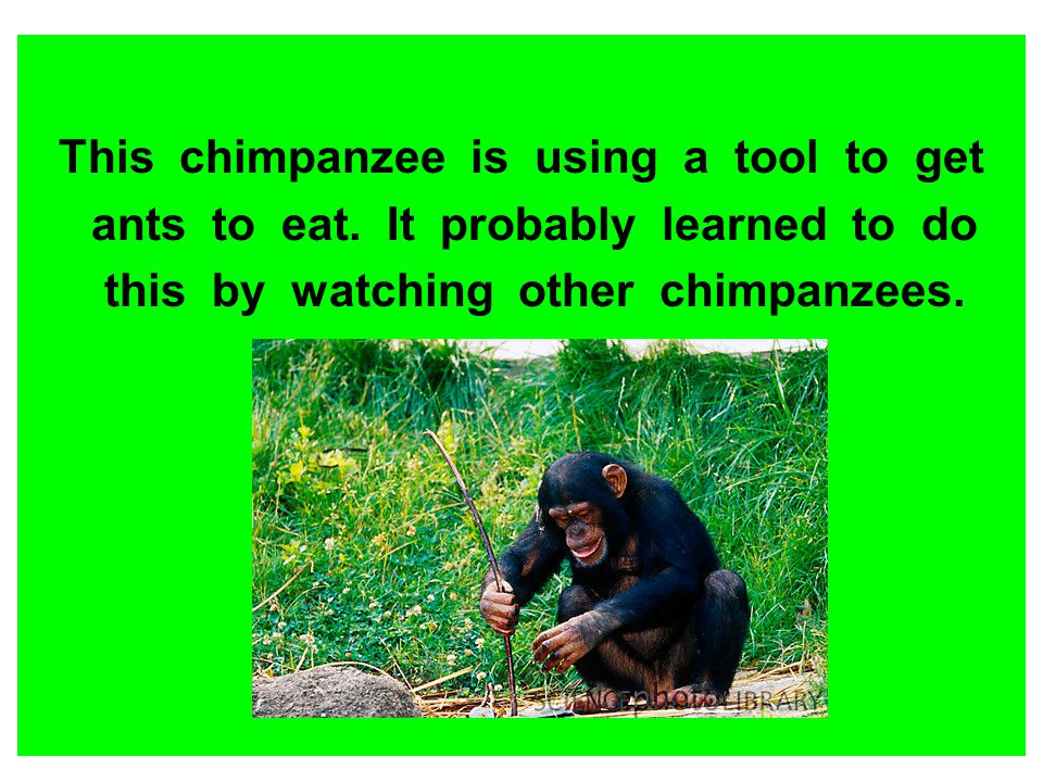 This chimpanzee is using a tool to get