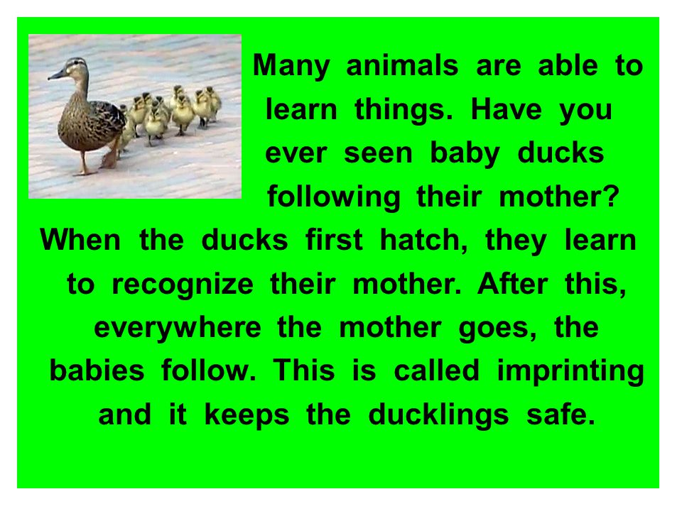 Many animals are able to learn things. Have you ever seen baby ducks