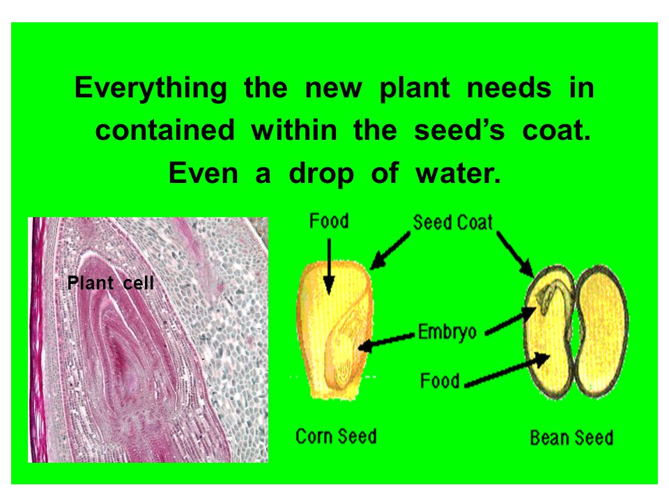 Everything the new plant needs in contained within the seed's coat.