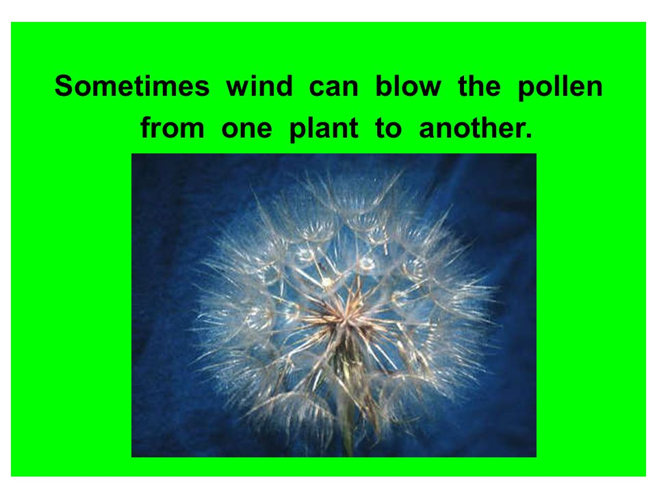 Sometimes wind can blow the pollen from one plant to another.
