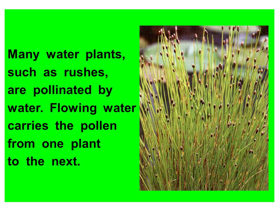Many water plants, such as rushes, are pollinated by. water. Flowing water. carries the pollen.