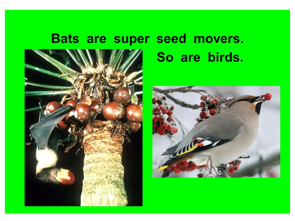Bats are super seed movers.