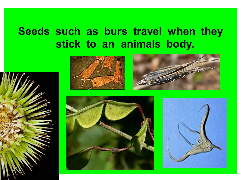 Seeds such as burs travel when they stick to an animals body.
