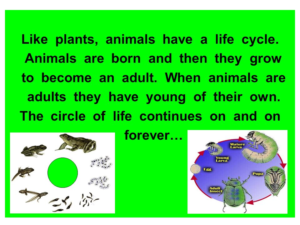 Like plants, animals have a life cycle.