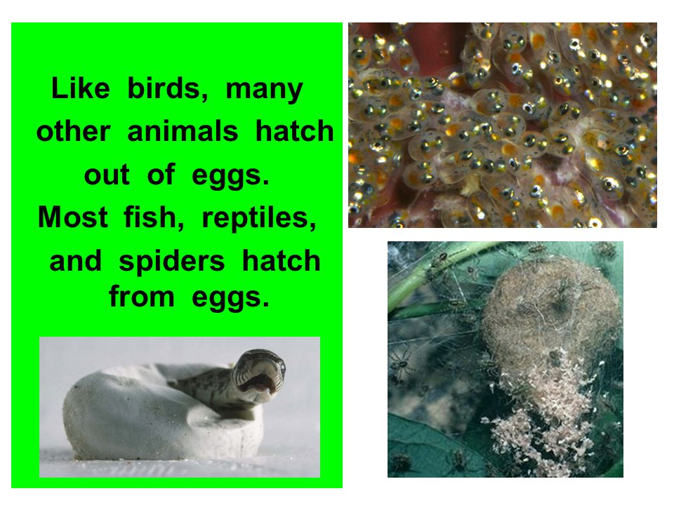 and spiders hatch from eggs.
