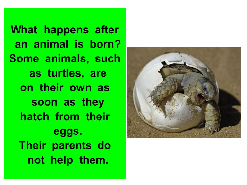 What happens after an animal is born Some animals, such. as turtles, are. on their own as.
