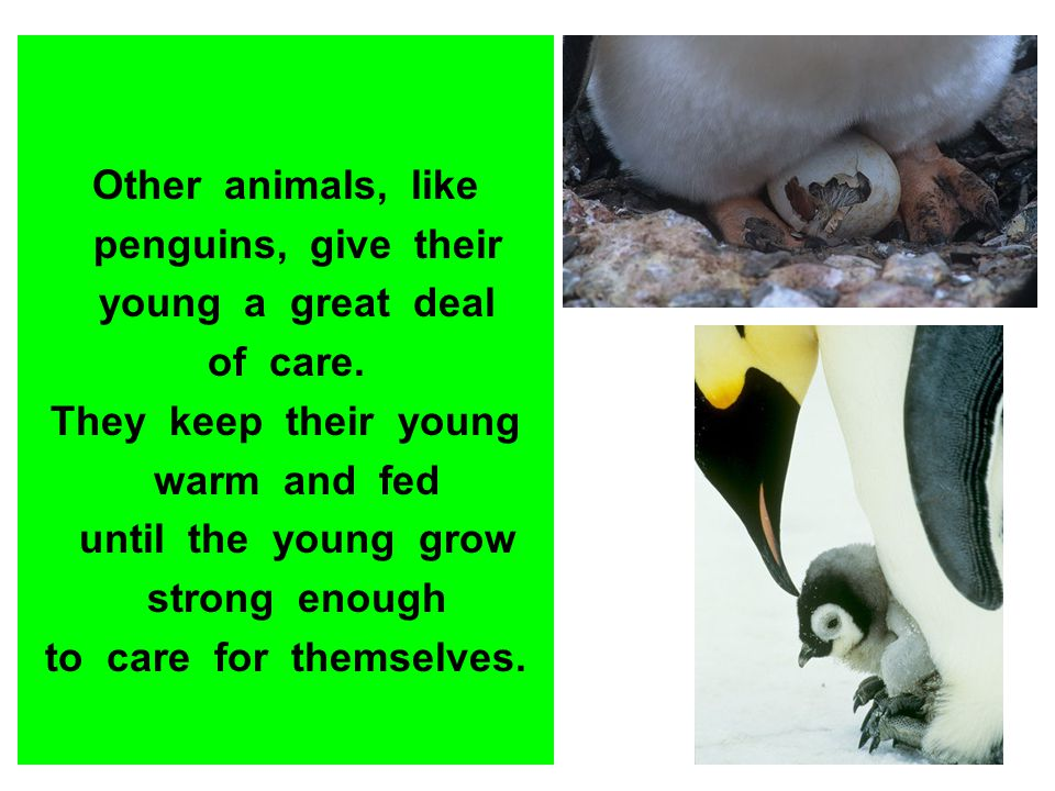 Other animals, like penguins, give their. young a great deal. of care. They keep their young.