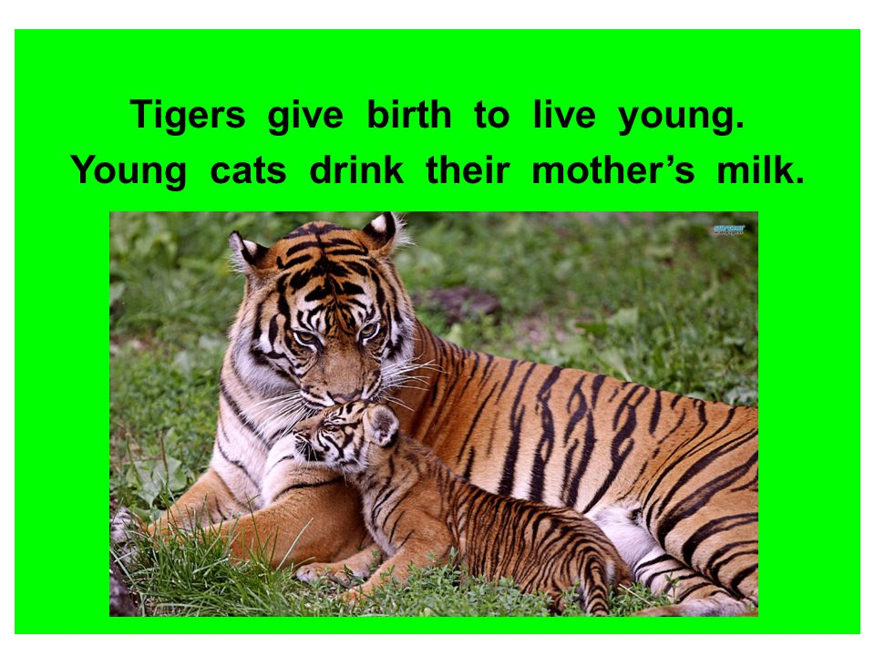 Tigers give birth to live young. Young cats drink their mother's milk.