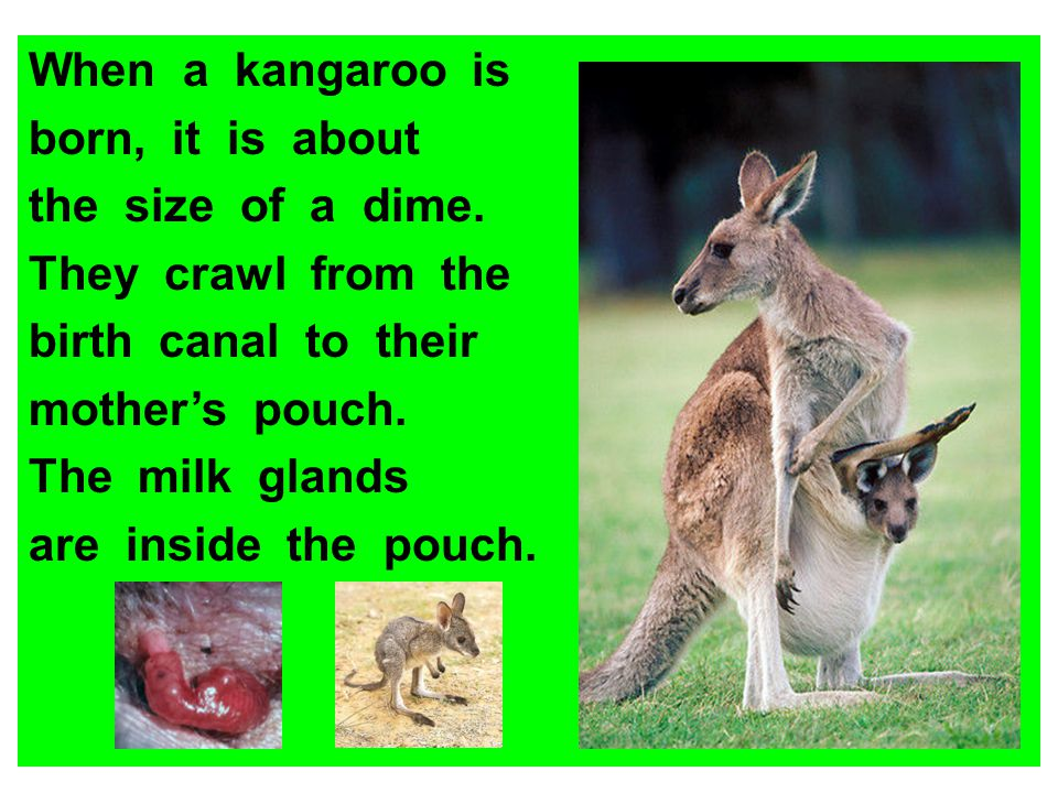 When a kangaroo is born, it is about. the size of a dime. They crawl from the. birth canal to their.