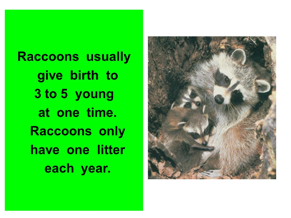 Raccoons usually give birth to. 3 to 5 young. at one time. Raccoons only. have one litter.