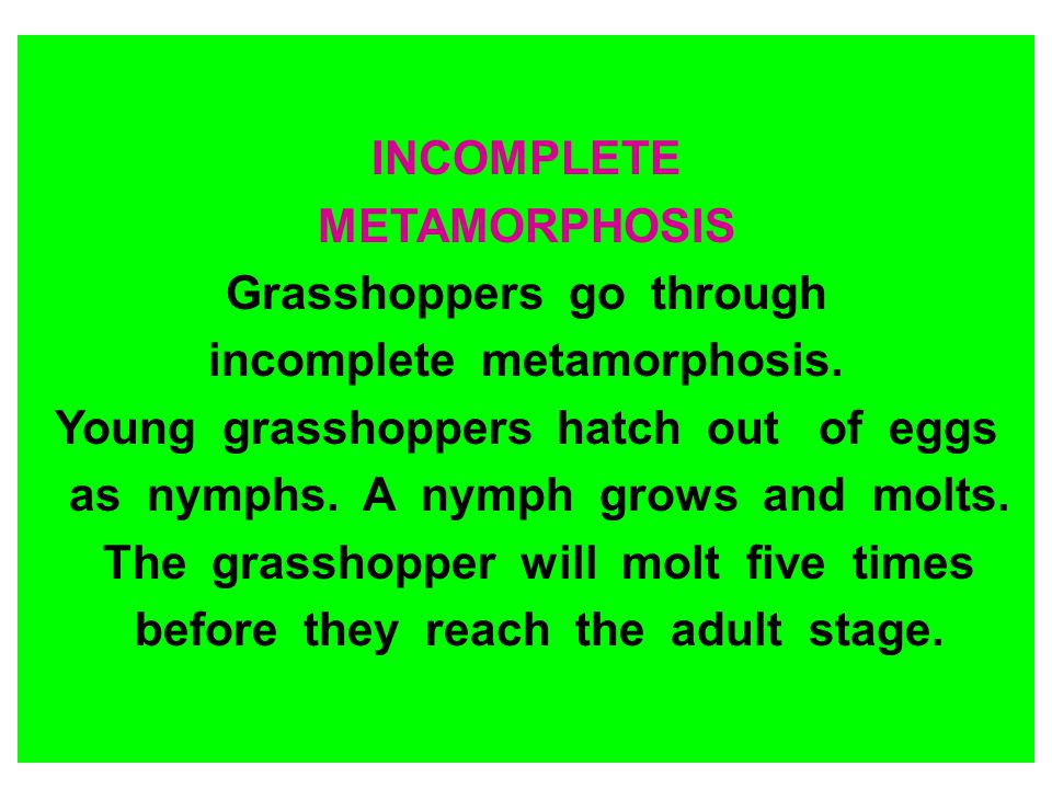 Grasshoppers go through incomplete metamorphosis.