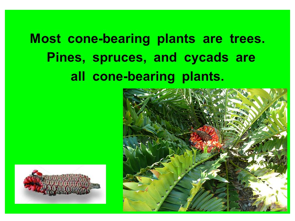 Most cone-bearing plants are trees. Pines, spruces, and cycads are