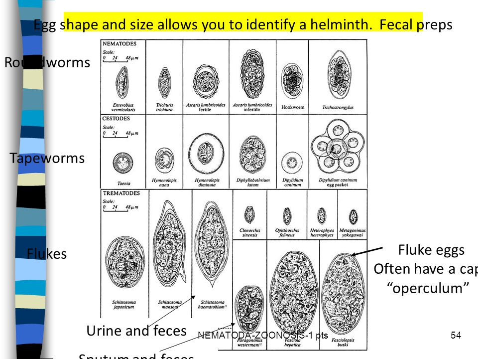 Egg shape and size allows you to identify a helminth. Fecal preps