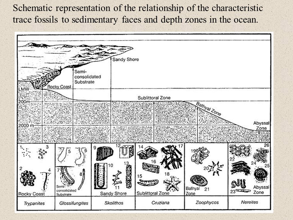 Schematic representation of the relationship of the characteristic trace fossils to sedimentary faces and depth zones in the ocean.