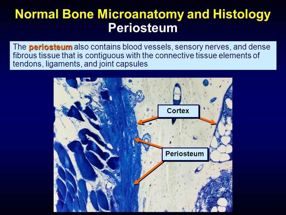 Normal Bone Microanatomy and Histology Periosteum