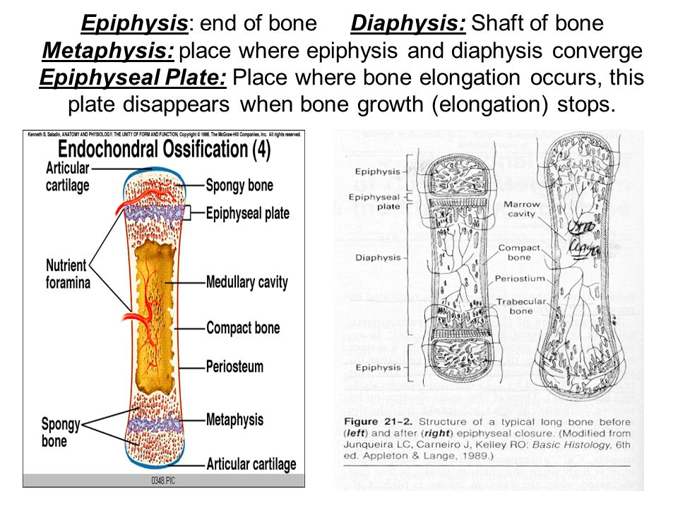 Epiphysis: end of bone Diaphysis: Shaft of bone Metaphysis: place where epiphysis and diaphysis converge Epiphyseal Plate: Place where bone elongation occurs, this plate disappears when bone growth (elongation) stops.