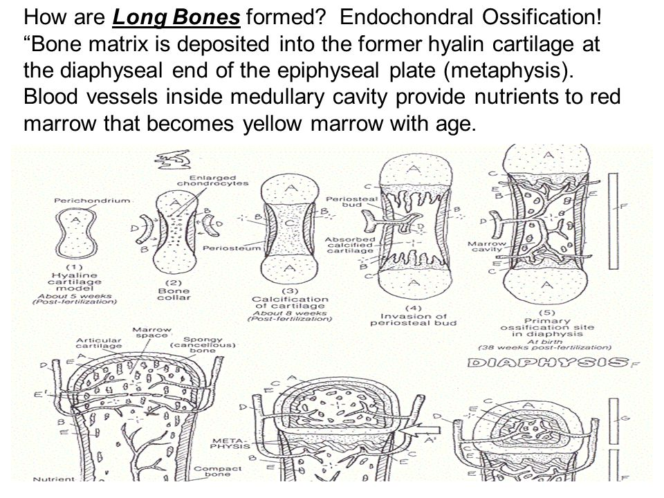 How are Long Bones formed. Endochondral Ossification
