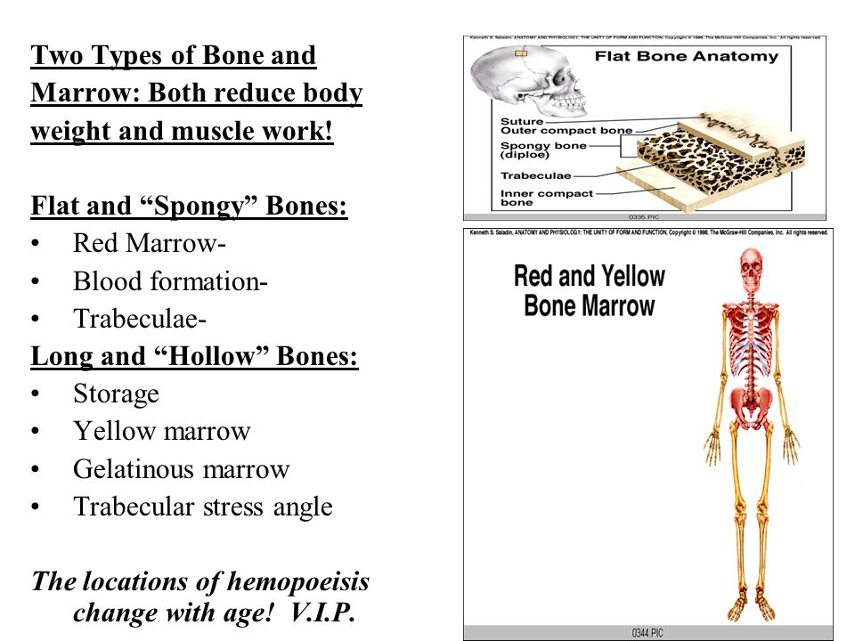 Two Types of Bone and Marrow: Both reduce body. weight and muscle work! Flat and Spongy Bones: Red Marrow-