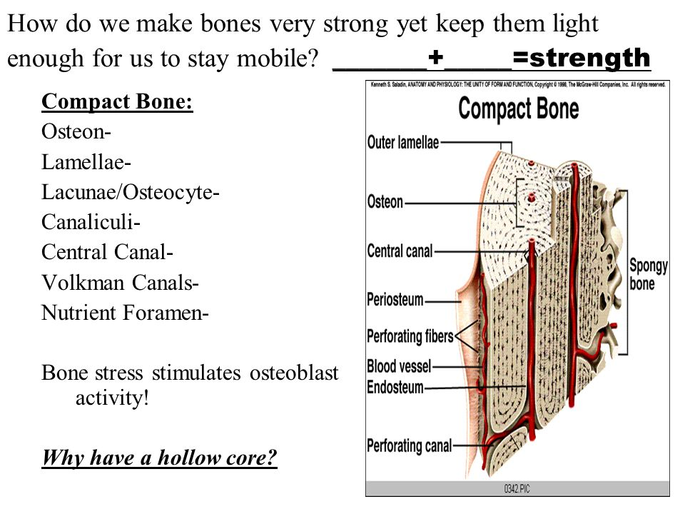 How do we make bones very strong yet keep them light enough for us to stay mobile _______+_____=strength