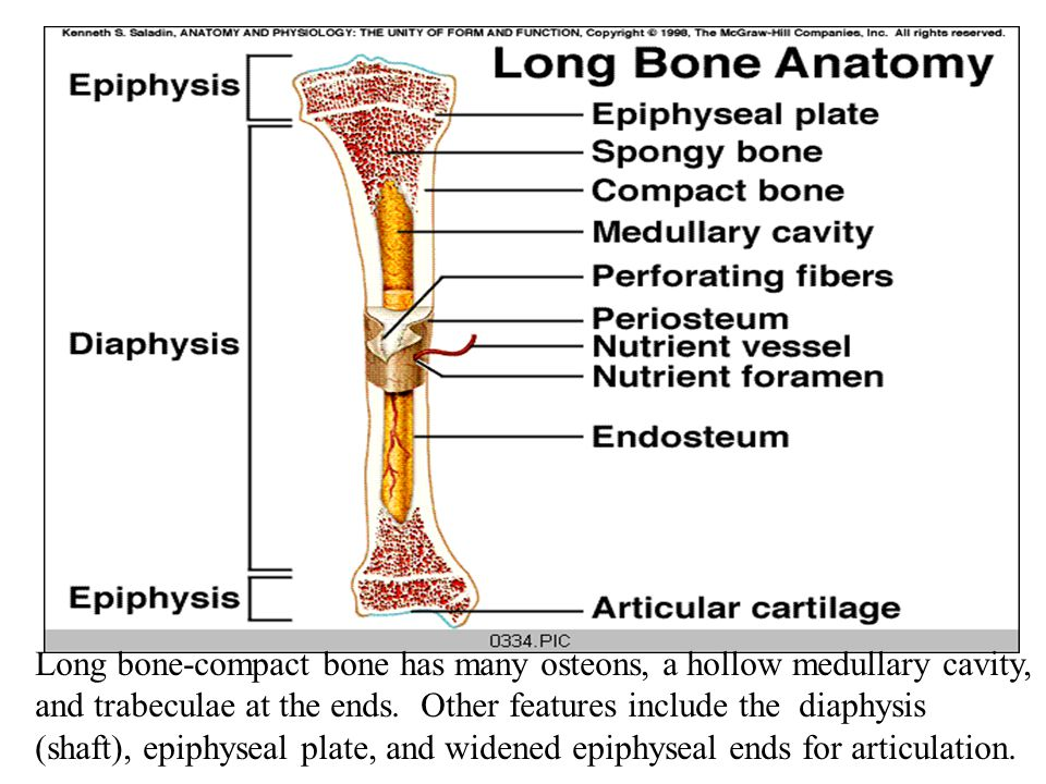 Long bone-compact bone has many osteons, a hollow medullary cavity, and trabeculae at the ends.