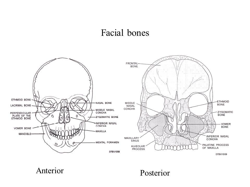 Facial bones Anterior Posterior