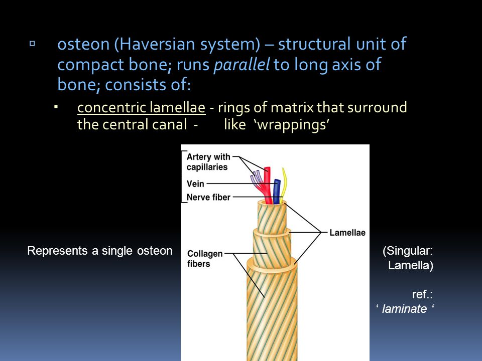osteon (Haversian system) – structural unit of compact bone; runs parallel to long axis of bone; consists of: