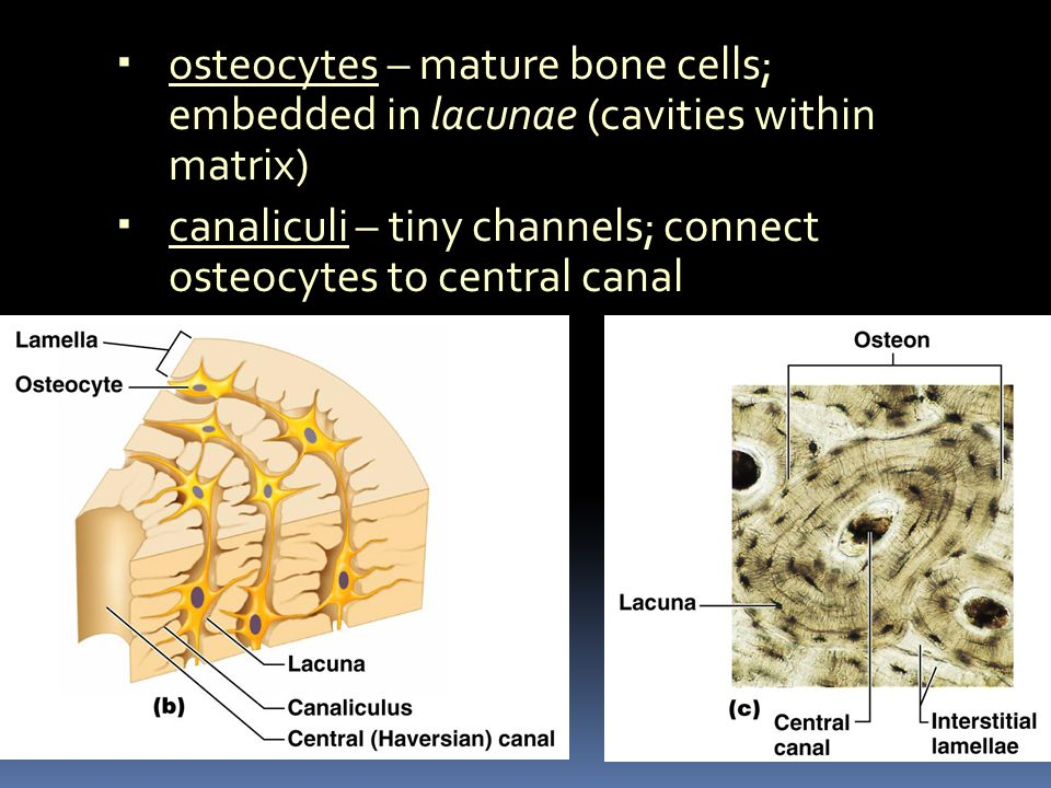 canaliculi – tiny channels; connect osteocytes to central canal