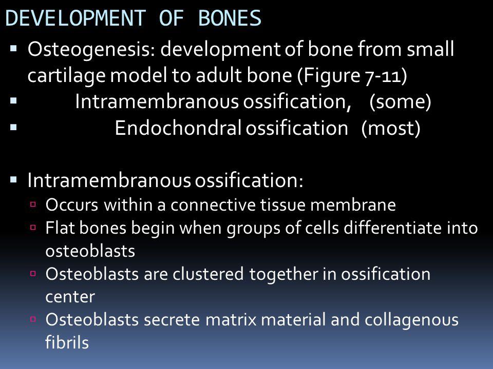 DEVELOPMENT OF BONES Osteogenesis: development of bone from small cartilage model to adult bone (Figure 7-11)