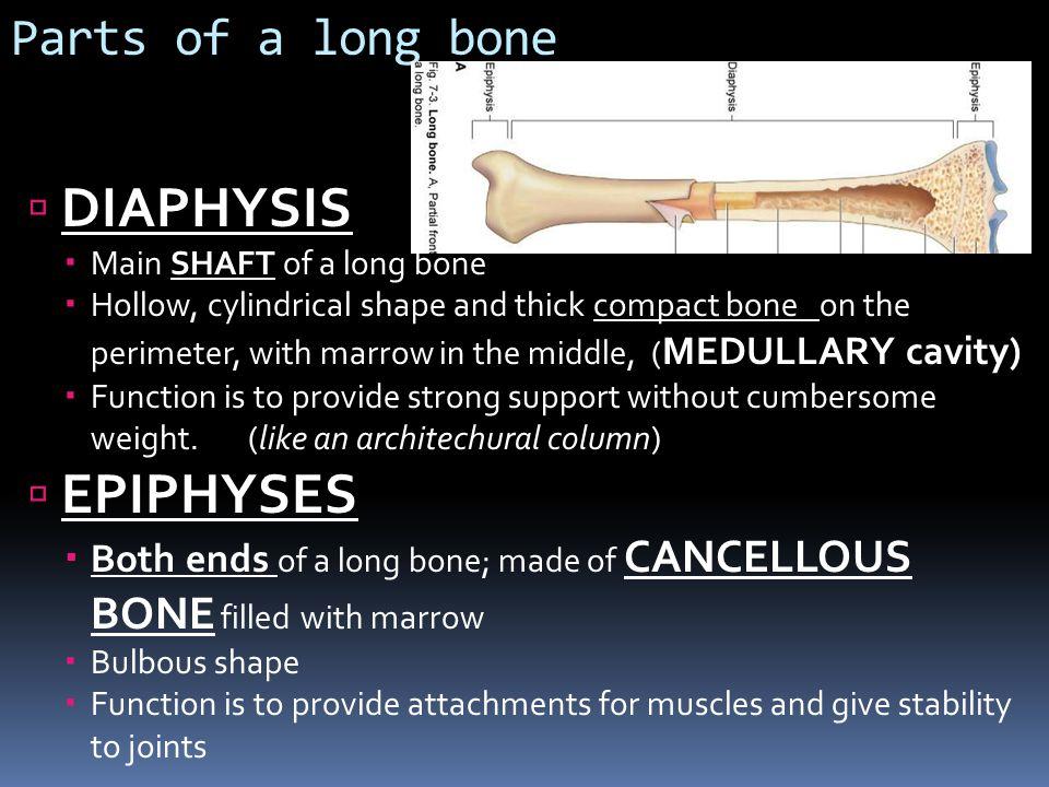 DIAPHYSIS EPIPHYSES Parts of a long bone