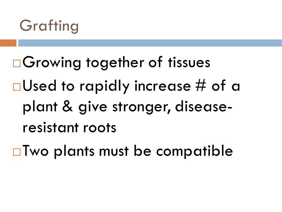 Grafting Growing together of tissues. Used to rapidly increase # of a plant & give stronger, disease- resistant roots.