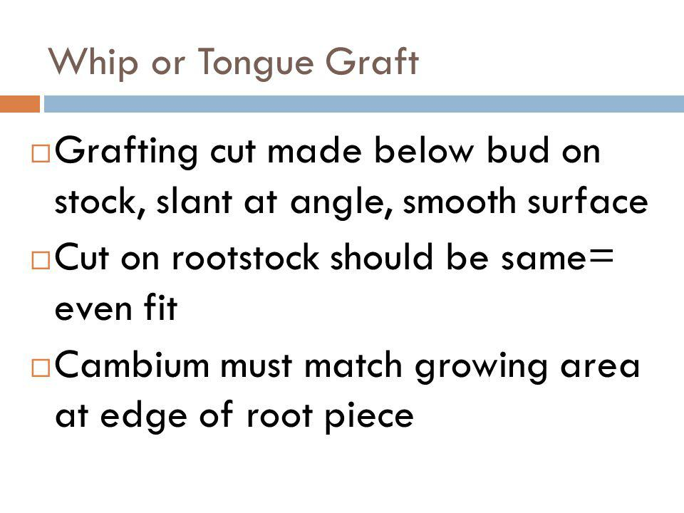 Whip or Tongue Graft Grafting cut made below bud on stock, slant at angle, smooth surface. Cut on rootstock should be same= even fit.