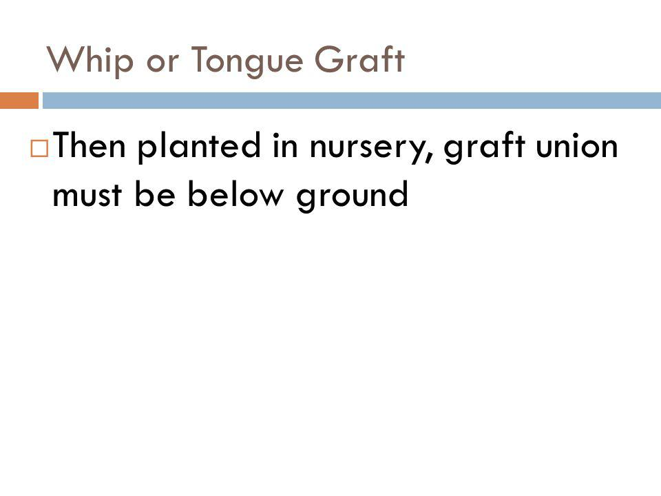 Whip or Tongue Graft Then planted in nursery, graft union must be below ground
