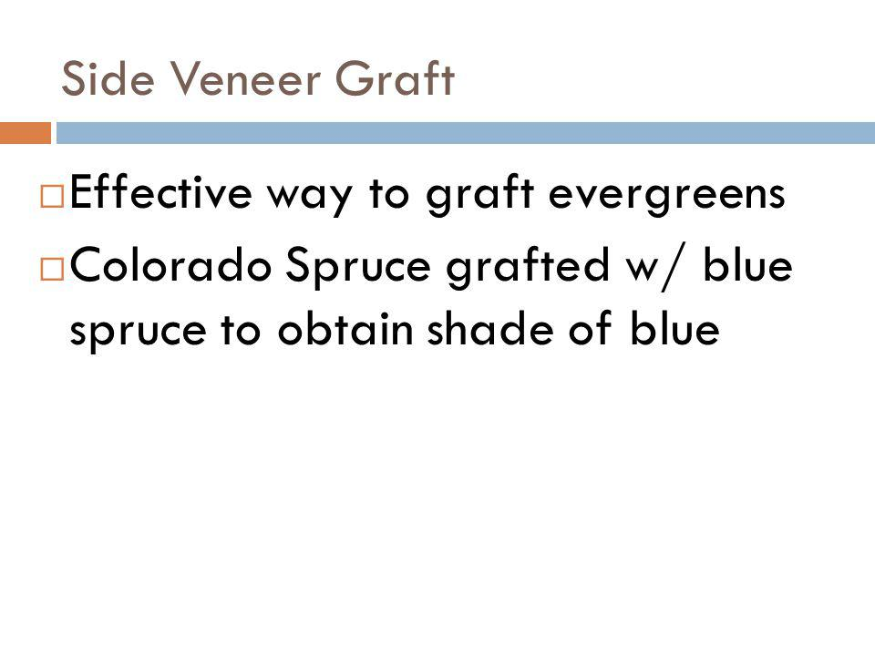 Side Veneer Graft Effective way to graft evergreens.