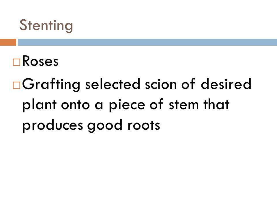 Stenting Roses.