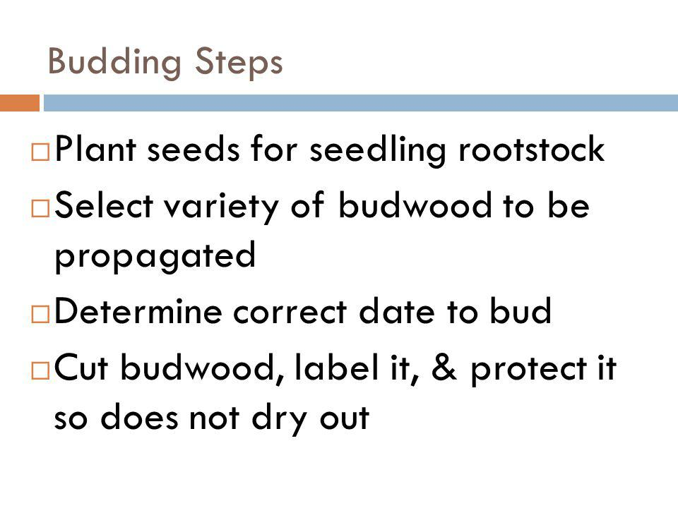 Budding Steps Plant seeds for seedling rootstock. Select variety of budwood to be propagated. Determine correct date to bud.