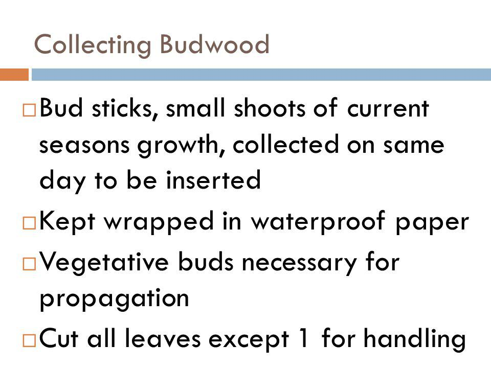 Collecting Budwood Bud sticks, small shoots of current seasons growth, collected on same day to be inserted.