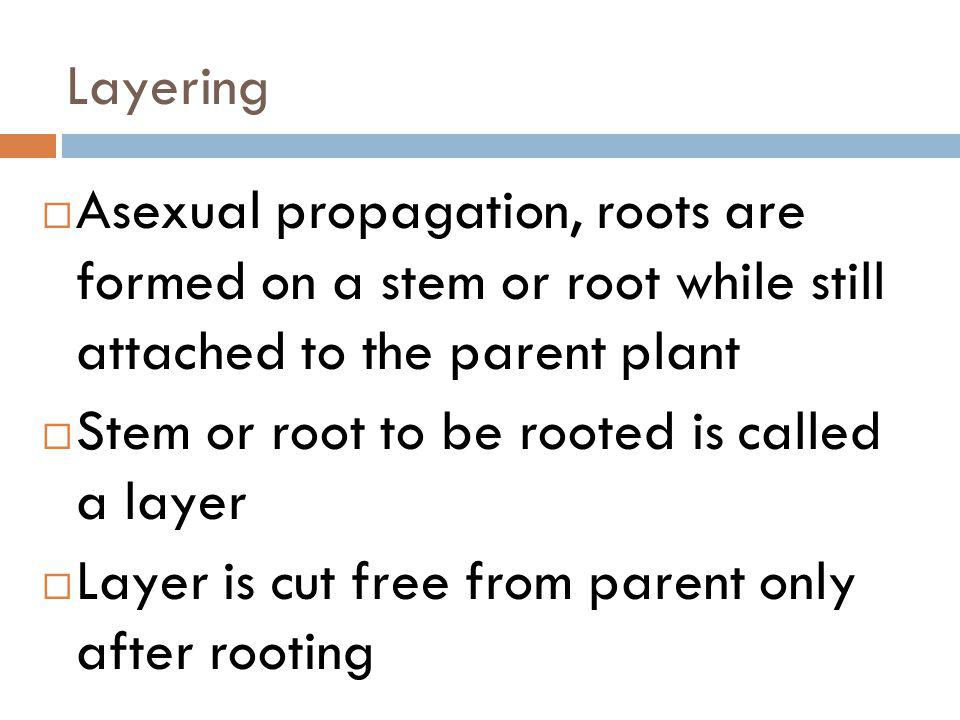 Layering Asexual propagation, roots are formed on a stem or root while still attached to the parent plant.