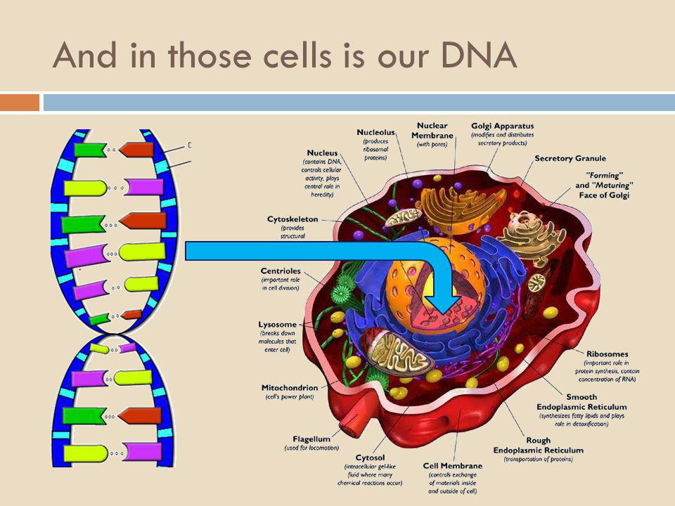And in those cells is our DNA