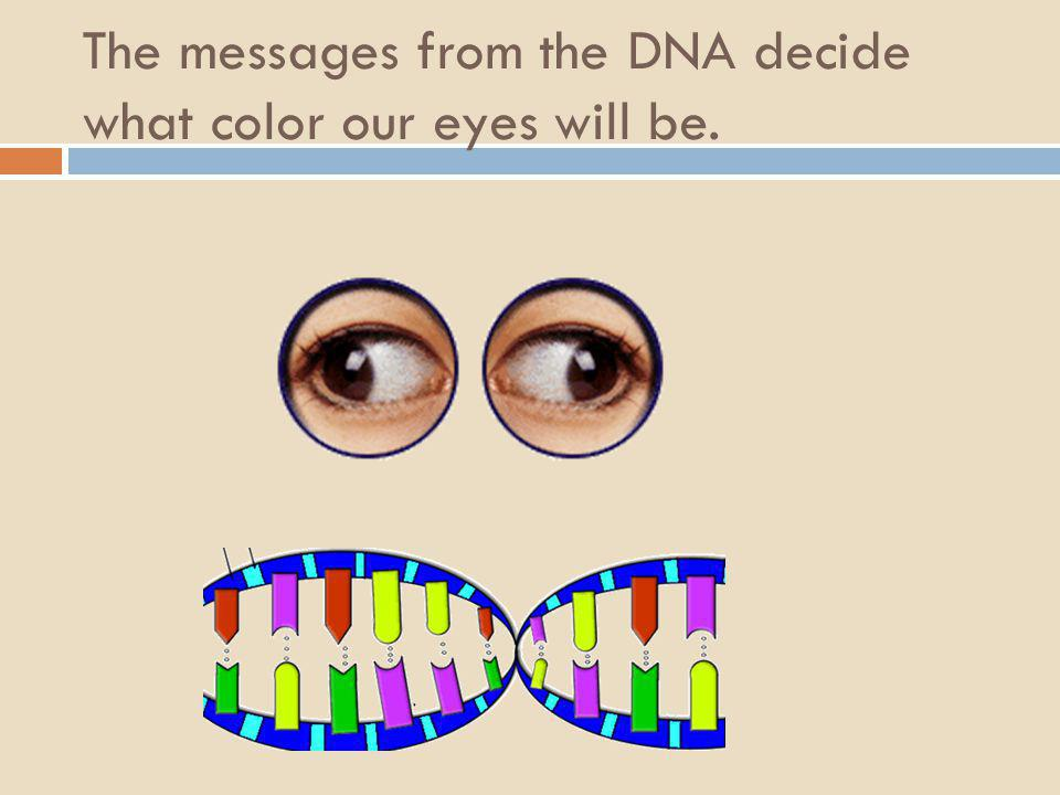 The messages from the DNA decide what color our eyes will be.