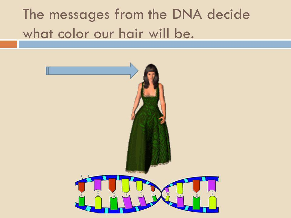 The messages from the DNA decide what color our hair will be.