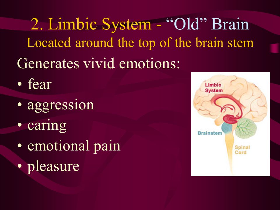 2. Limbic System - Old Brain Located around the top of the brain stem