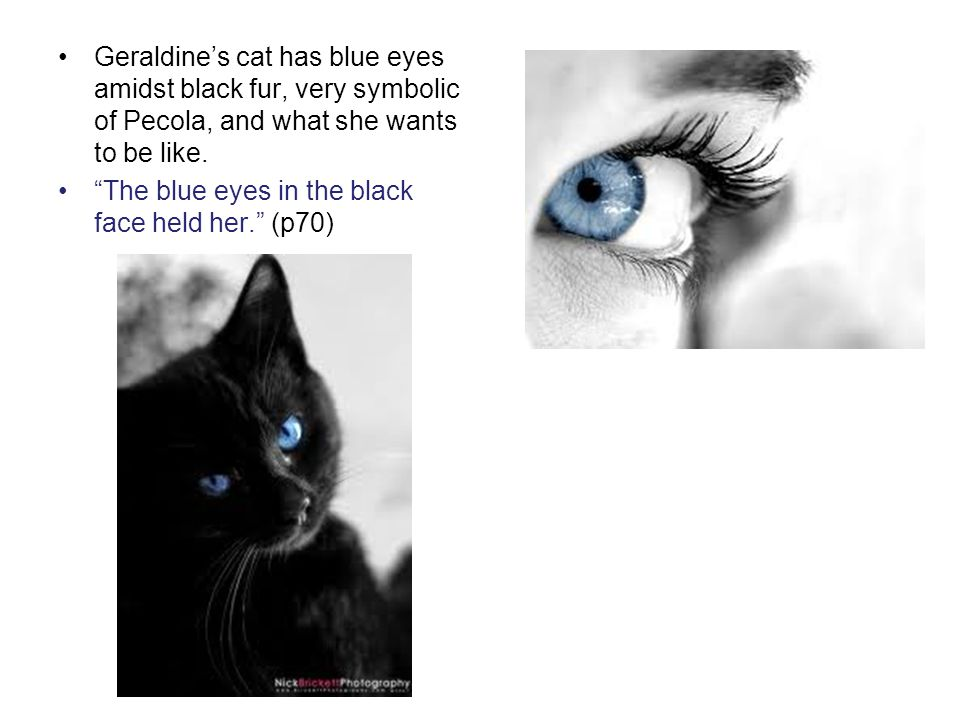 Geraldine's cat has blue eyes amidst black fur, very symbolic of Pecola, and what she wants to be like.