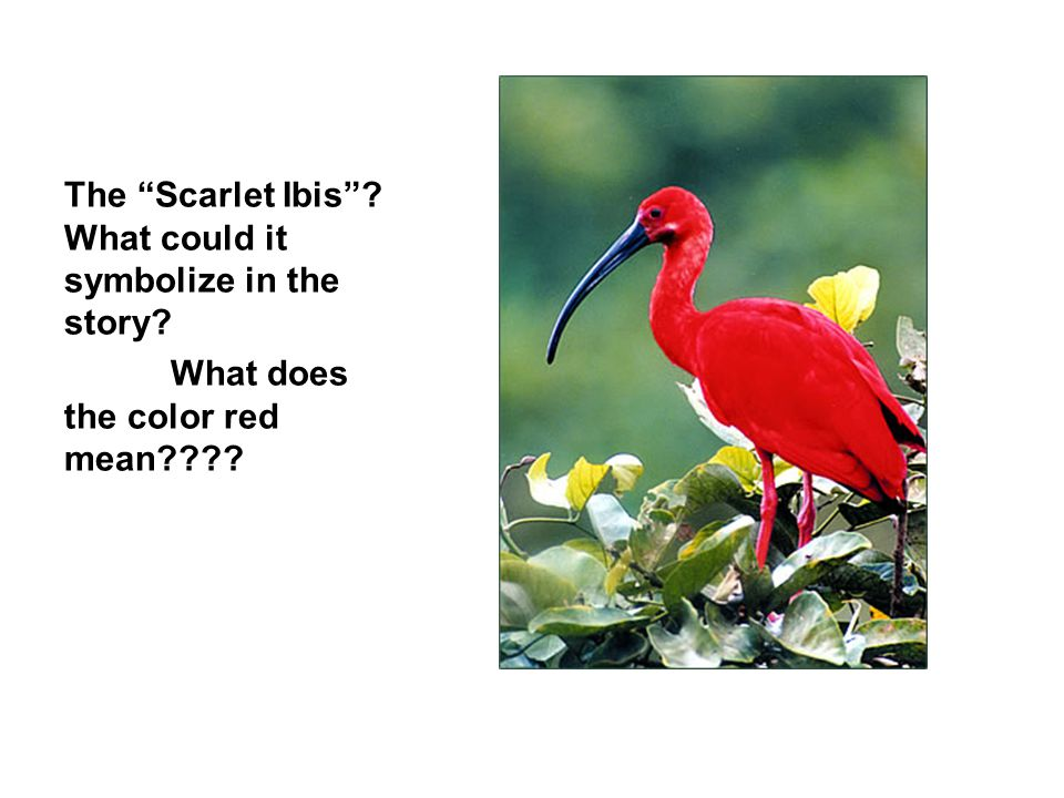 The Scarlet Ibis What could it symbolize in the story